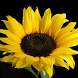 Sunflower Jigsaw Puzzles by filsosoev
