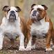 English Bulldog Dogs Jigsaw by redzpetz