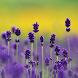 Lavender Live Wallpaper by Odysseus Games
