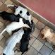 Segugio Italiano Dogs Jigsaw by redzpetz