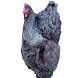 Chickens 101 by Our Exotics