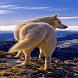Mountain Wolf Live Wallpaper by Daksh Apps