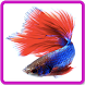 Betta fish live wallpapers by Olive Sudio
