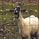 Epic Goat by Jaythree