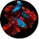 Betta Fish HD Wallpapers by HD Wallpaper Developers