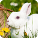 Rabbit Live Wallpaper by DreamWallpapers