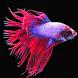 Betta Fish by Free Info Team
