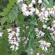 Locust Flower Wallpapers by fryttyteam