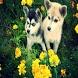 Alaskan Klee Kai Wallpaper by SherSons Live Wallpaper