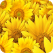 Sunflower Wallpaper by My Book