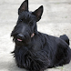 Scottish Terriers Jigsaw Puzzl by fundogpuzzle