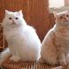Cat breeds by High Soft App