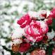 Цветы в снегу by MobileDevComunity