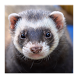 Ferrets Great Funny Home Pets by Twayesh Projects