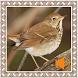 Hermit Thrush Birds Sounds by Godev Houz
