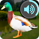 Voices of Geese and Ducks for Hunting