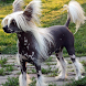 Chinese Crested Dog Puzzle by dogpuzzles