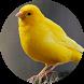 Canary Bird sounds by BirdDev