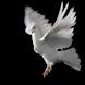 White pigeon live wallpaper