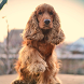 Cocker Spaniel Dogs Wallpapers by altothem