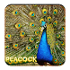 Beautiful Peacock wallpaper by creative 3D Themes