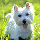 West Highland Terriers Puzzle