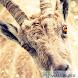 Funny goat live wallpaper