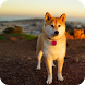 Akita Dog wallpaper by WallpapersCompany