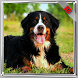Bernese Mountain Wallpaper by WallpapersInc