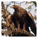Birds of Prey - Live Wallpaper by Hojasoft, LLC