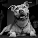 PitBulls Wallpapers by arkadiykruglov