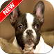 French Bulldog Wallpapers by Fresh Wallpapers