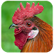 Chickens by NABIOM SOFT
