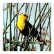 Blackbirds - Live Wallpaper by Hojasoft, LLC