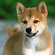 Shiba Inu Wallpapers by arkadiykruglov