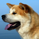 AkitaInu Wallpapers by fansofdogs