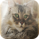 Bobtail Cats Wallpapers by Laland Apps