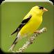 Singing Goldfinch by Denningdev