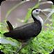 Suara Burung Ruak Ruak by Majujayadut