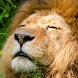 african lion wallpaper by Dark cool wallpaper llc
