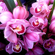 Orchid Wallpapers by Amin and Co