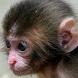 baby monkey live wallpaper by Dark cool wallpaper llc