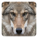 Wolf Live Wallpaper by Wallpaper qHD