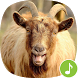 Appp.io - Goat Sounds by Appp.io