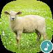 Appp.io - Sheep sounds