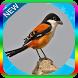 Kicau Master Burung Cendet Mp3 Offline by jogem apps