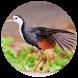 Suara Burung Wak Wak MP3 - Offline by Suismanking Dev