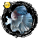 Betta Fish Contest by Secondhiday
