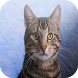 Shorthair Cats Wallpapers by Laland Apps