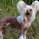 Chinese Crested Dog Wallpapers by kolobova